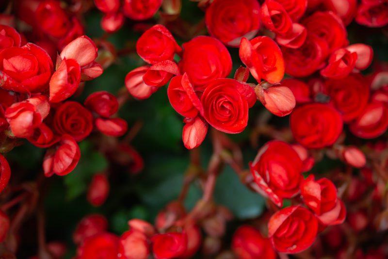 piros begónia