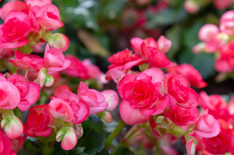 rózsaszín begónia