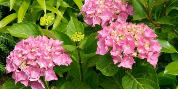 hortenziák kertben